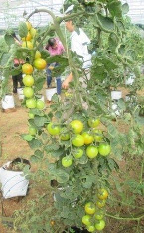 Mô hình ứng dụng công nghệ cao trồng thử nghiệm cây cà chua picota tại huyện Chợ Lách, tỉnh Bến Tre