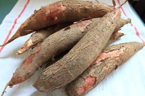 Kỹ thuật ủ chua củ sắn làm thức ăn cho gia súc