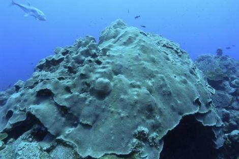 Lý giải khả năng san hô sống sót khỏi thảm họa môi trường bằng cách phân tích bộ gen