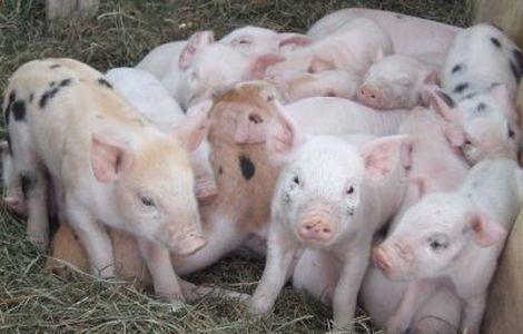 Nghiên cứu chế tạo vắc-xin tái tổ hợp phòng hai bệnh phù đầu và phó thương hàn lợn