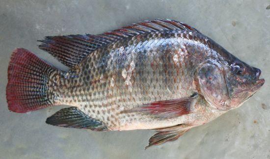 Phương pháp phòng và trị bệnh trên cá trắm cỏ và cá rô phi