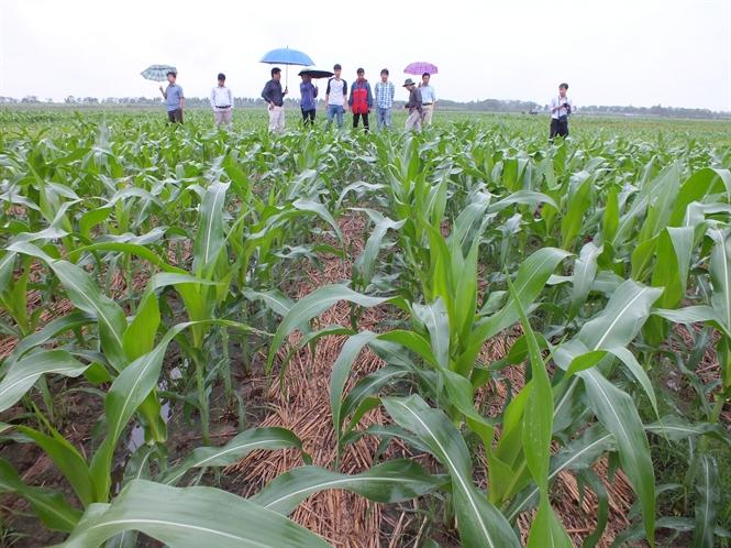 Kỹ thuật trồng ngô đông không làm đất