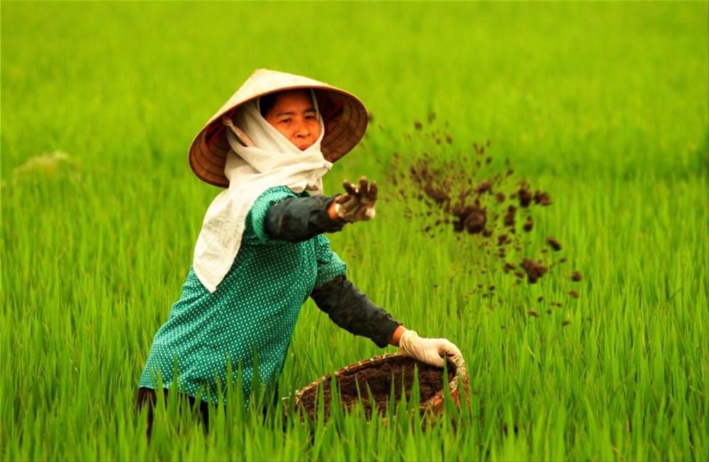 Bón phân thúc đòng và đảm bảo đủ nước dưỡng cho cây lúa vụ xuân