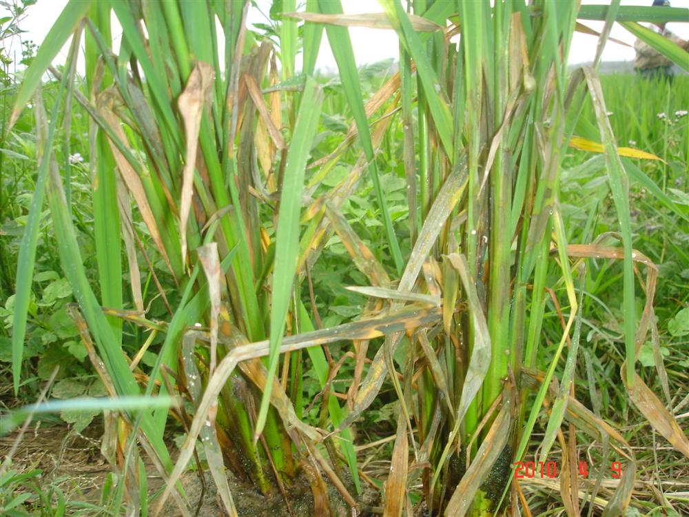 Lưu ý về tình hình sinh vật gây hại lúa vụ xuân