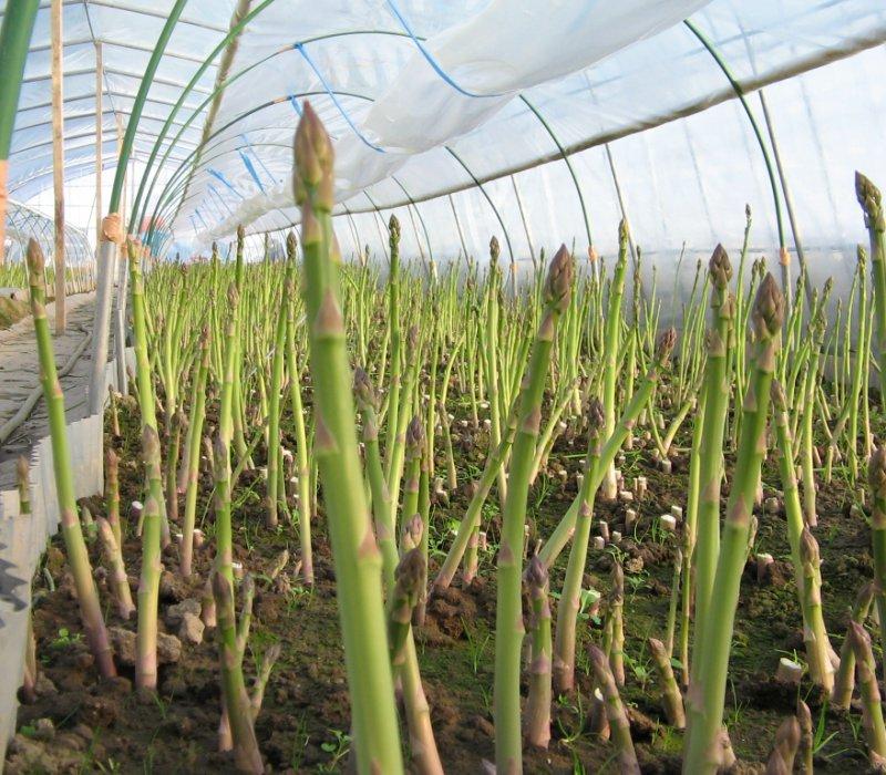 Măng tây xanh ở Bắc Ninh dễ trồng, thu nhập 150 - 300 triệu đồng/ha/năm