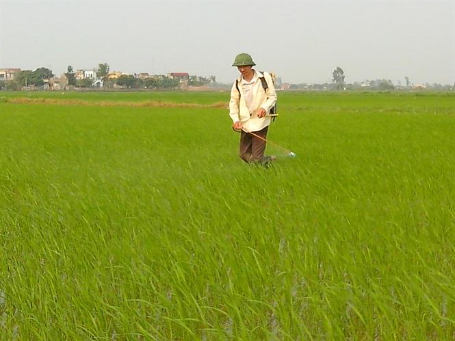 Một số chú ý sản xuất lúa xuân miền Bắc