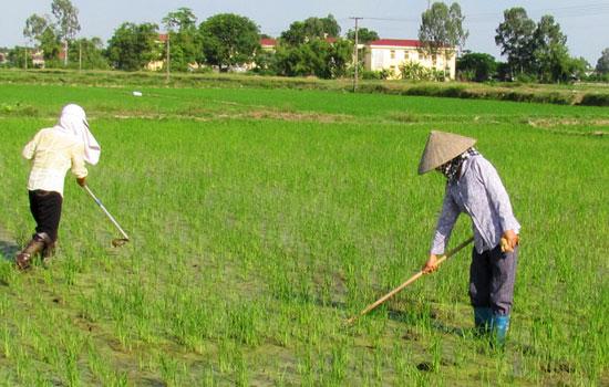 Biện pháp phòng trừ rong rêu hại lúa xuân