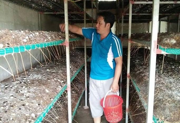 Hiệu quả nhờ trồng nấm rơm bằng nguyên liệu bông vải