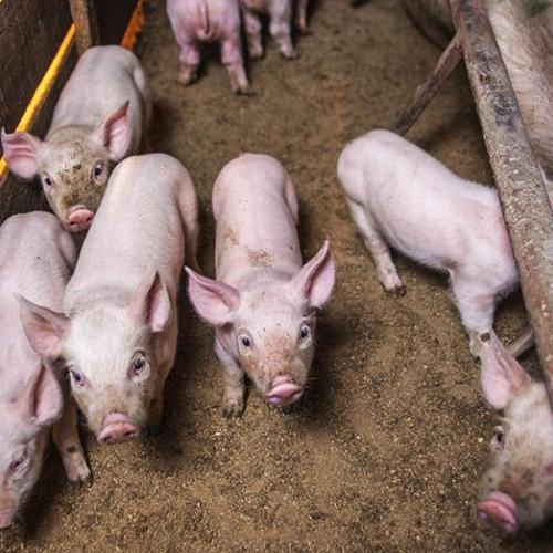 Cách phòng trị bệnh tiêu chảy cấp trên lợn con