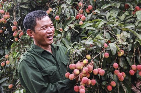 Chất lượng quả vải Bắc Giang tăng nhờ khoa học công nghệ