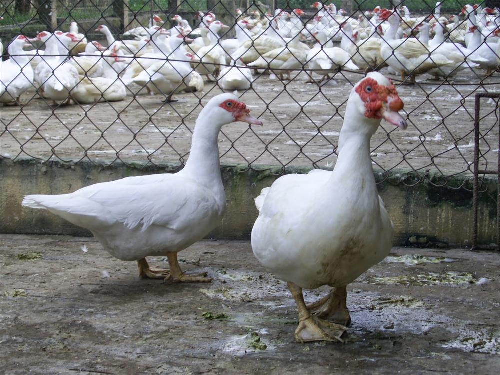 Kỹ thuật chăn nuôi ngan Pháp cho hiệu quả kinh tế cao