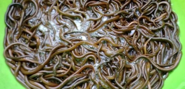 Những biện pháp hạn chế hao hụt lươn trong giai đoạn đầu thả giống