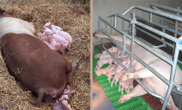 Biện pháp hạn chế lợn mẹ đè chết lợn con sơ sinh