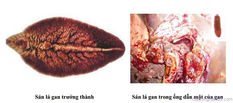 Các bệnh ký sinh trùng trên trâu bò và cách phòng, trị