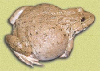 Những bệnh thường gặp trên ếch nuôi