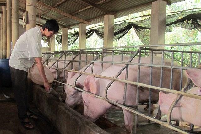 Không nên tăng đàn lợn ồ ạt trở lại