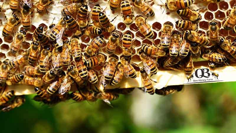 Kỹ thuật tạo chúa, chia đàn và khai thác ong