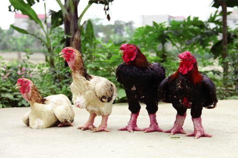 Áp dụng thụ tinh nhân tạo trong nhân giống gà Đông Tảo