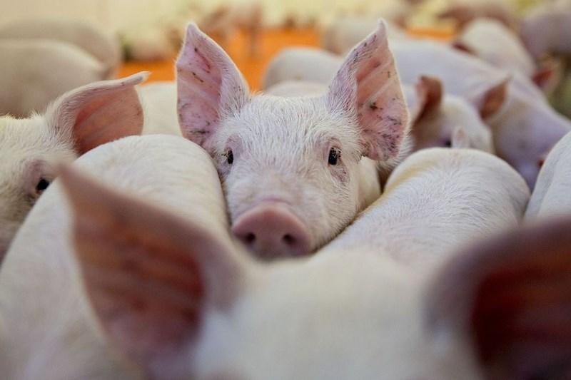 Thông tin chung về bệnh Dịch tả lợn châu Phi