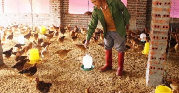 Tuyệt chiêu cho gà ăn... tỏi