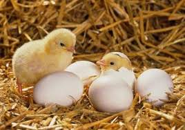Kỹ thuật khử trùng khi ấp nở trứng gia cầm