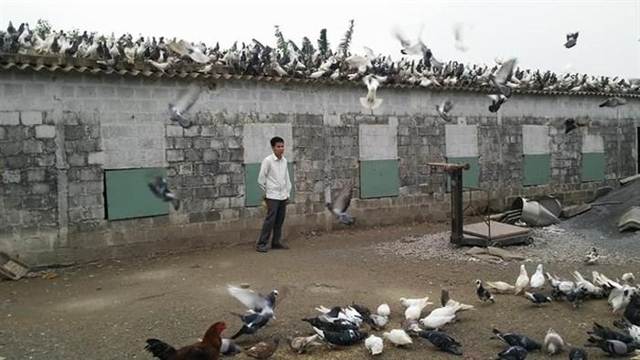 Bí quyết nuôi bồ câu lãi 250 triệu đồng/năm ở quê lúa Thái Bình