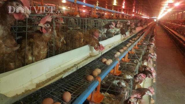 Thu tiền tỷ/năm nhờ nuôi gà siêu trứng Brown hướng VietGAP