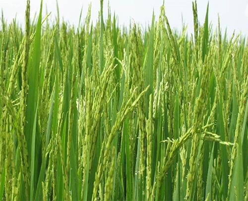 Chăm sóc lúa giai đoạn làm đòng - trỗ bông