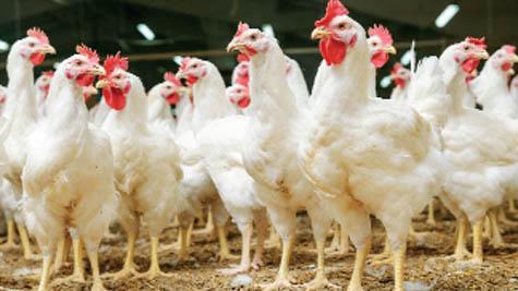 Phòng trị bệnh tích nước xoang bụng trên gà