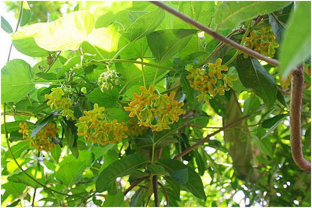 Kinh nghiệm trồng và chăm sóc cây thiên lý