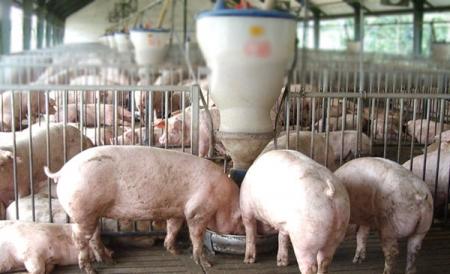 Các biện pháp giảm hao phí thức ăn trong chăn nuôi lợn