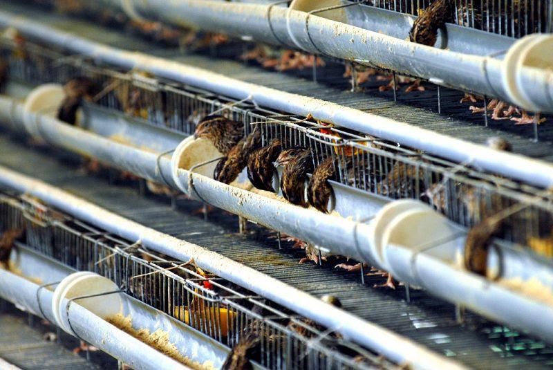 Kỹ thuật chọn giống và cách nuôi chim cút sinh sản