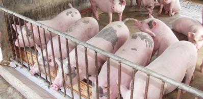Bệnh viêm dạ dày - ruột truyền nhiễm ở lợn