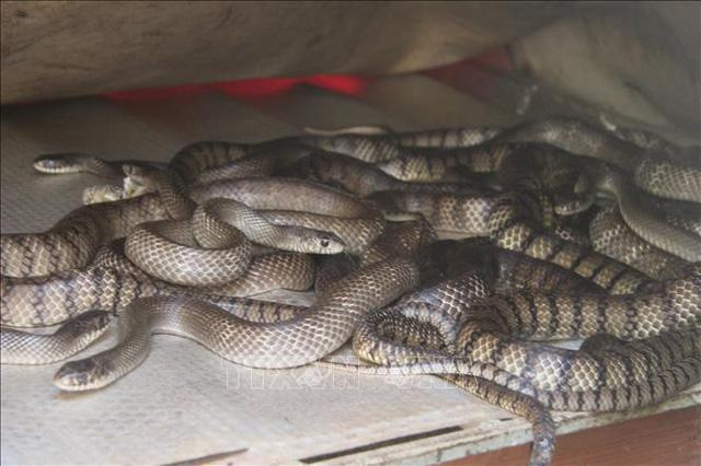 Nuôi rắn ráo trâu lãi nửa tỷ mỗi năm