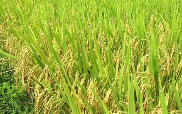 Giới thiệu giống lúa có triển vọng vụ mùa