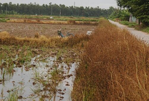 Báo động tình trạng sử dụng thuốc trừ cỏ tràn lan