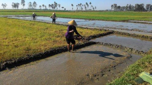 Biện pháp khắc phục một số hiện tượng bất thường  trong sản xuất lúa mùa 2019
