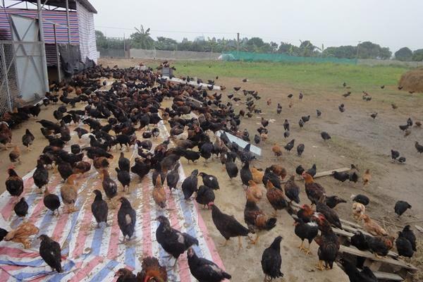Một số lưu ý khi chăm sóc gia súc, gia cầm sau mưa lớn kéo dài