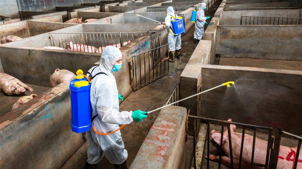 Tiếp tục tăng cường các biện pháp phòng, chống dịch tả lợn Châu Phi
