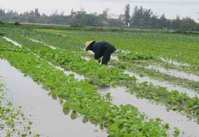 Những khuyến cáo khi trồng rau trong mùa mưa