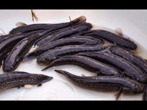 Bệnh thường gặp trên cá bống bớp