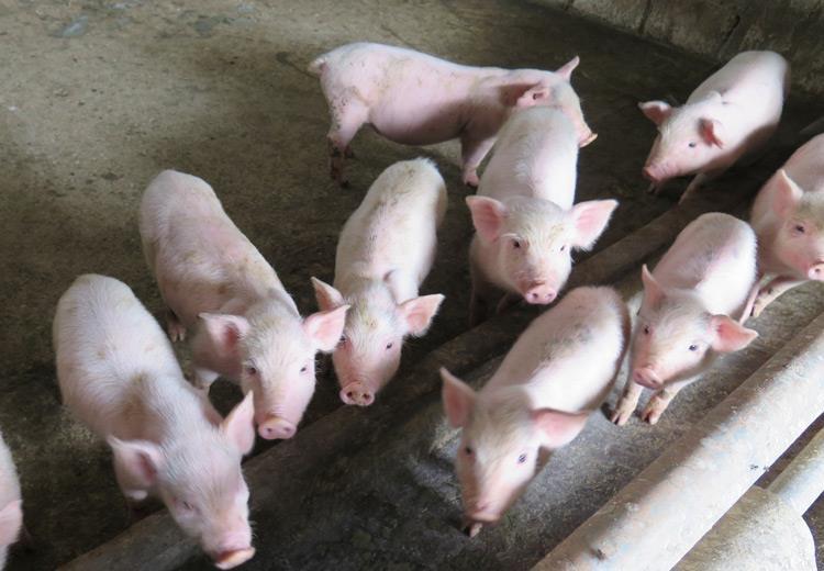 Bệnh phù thũng ở lợn con