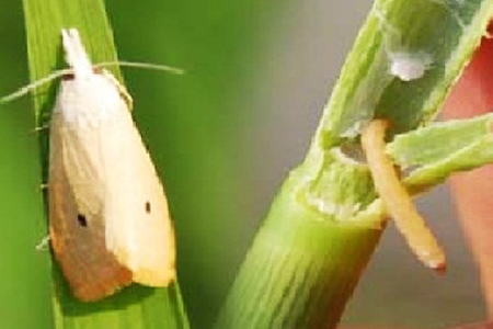Thông báo tình hình sâu bệnh hại lúa và biện pháp phòng trừ