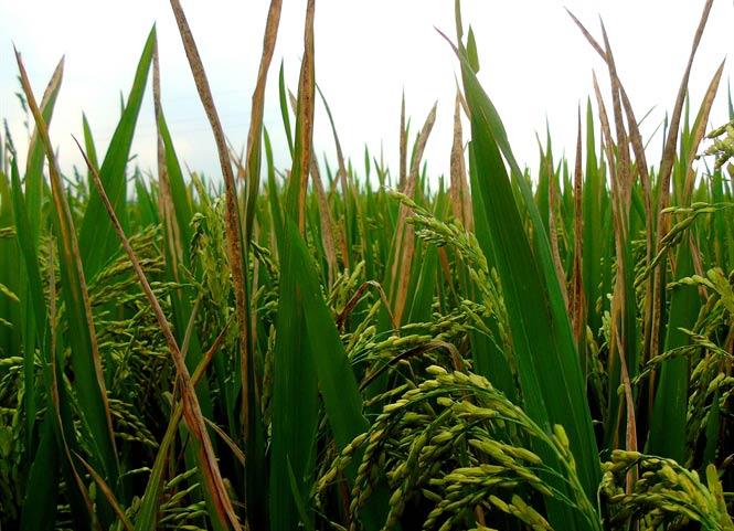 Phòng trừ bệnh bạc lá hại lúa