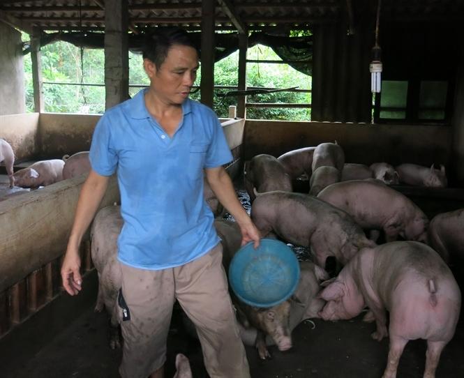 Cao thủ nuôi lợn an toàn giữa vùng dịch