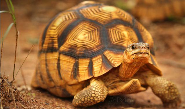 Kỹ thuật nuôi rùa vàng (Phần 1: Nhân giống rùa vàng)