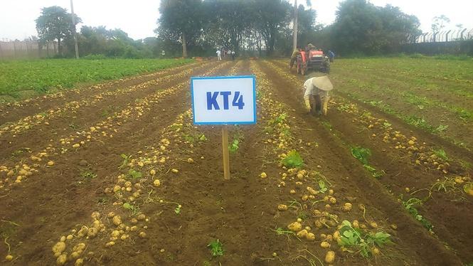 Giống khoai tây KT4