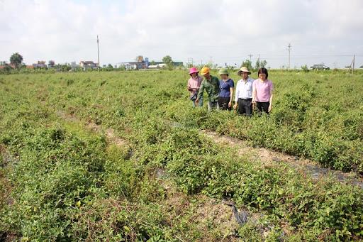 Trồng cây dược liệu trên vùng đất cấy lúa kém hiệu quả