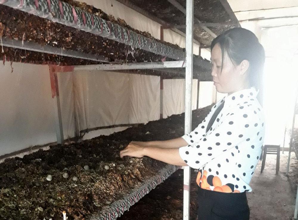 Hiệu quả trồng nấm rơm bằng nguyên liệu bông vải