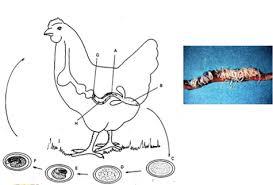 Dấu hiệu nhận biết và cách điều trị bệnh giun sán ở gà